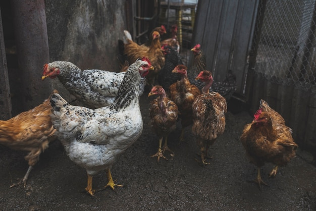 Biały i brown kurczak na gospodarstwie rolnym