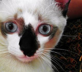 Biały i czarny kot birmański