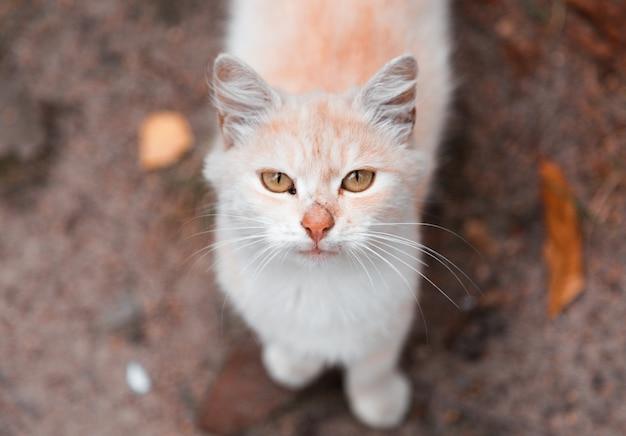 Biały i pomarańczowy kot patrzeje kamerę.