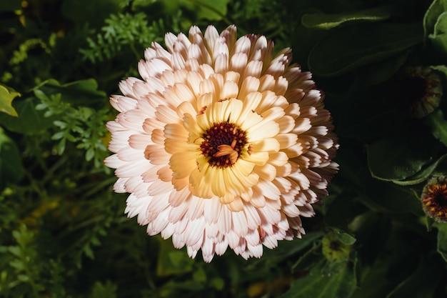 Biały i różowy kwiat z bliska