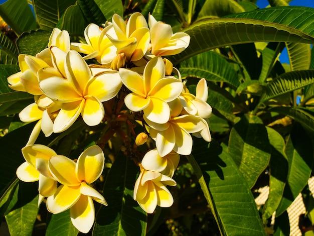Biały i żółty plumeria kwitnie na drzewie na cypr