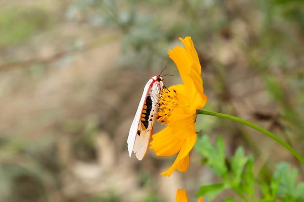 Biały insekt na żółtym kosmosu sulphureus cav kwitnie w ogródzie.