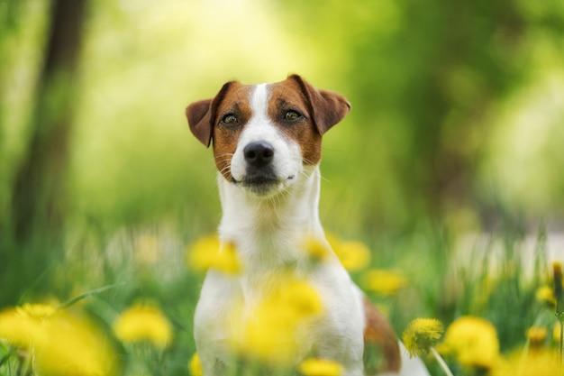 Biały jack russell terrier szczeniaka obsiadanie wśród żółtych kwiatów w lecie