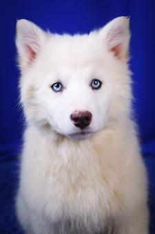 Biały jakucki szczeniak łajka, śmiejący się zabawny emocjonalny pies, na niebieskim tle studio