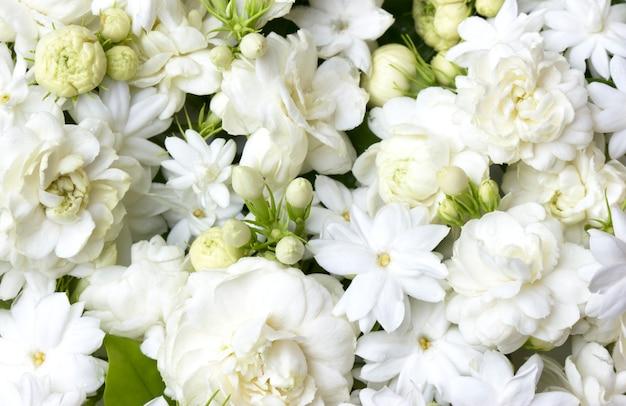 Biały jaśmin kwitnie świeżych kwiaty