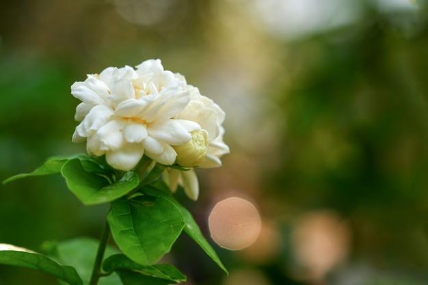 Biały jaśmin z rozmytym naturalnym tłem kwiat symbolizuje dzień matki w tajlandii