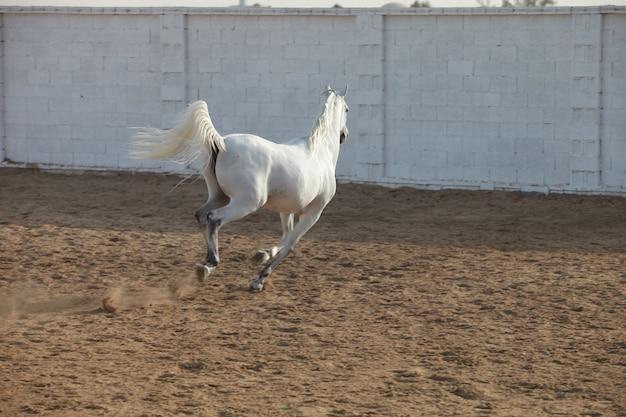 Biały koń arabski