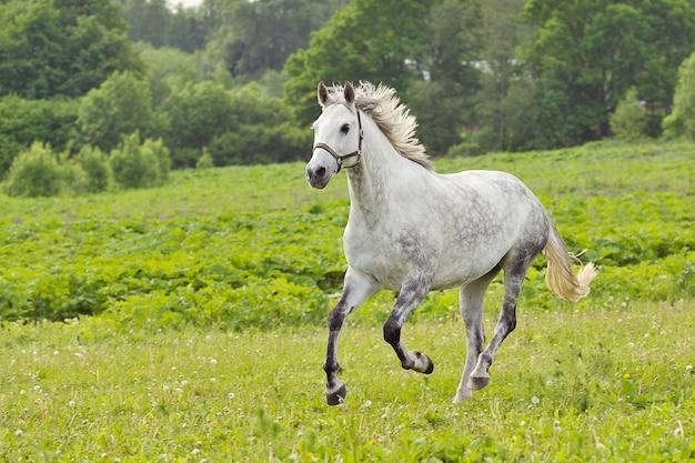 Biały koń biegnie galopem na zielonej łące w letni dzień, na zewnątrz, poziomo. shallow dof, skup się na koniu. fotografowanie z panoramowaniem.