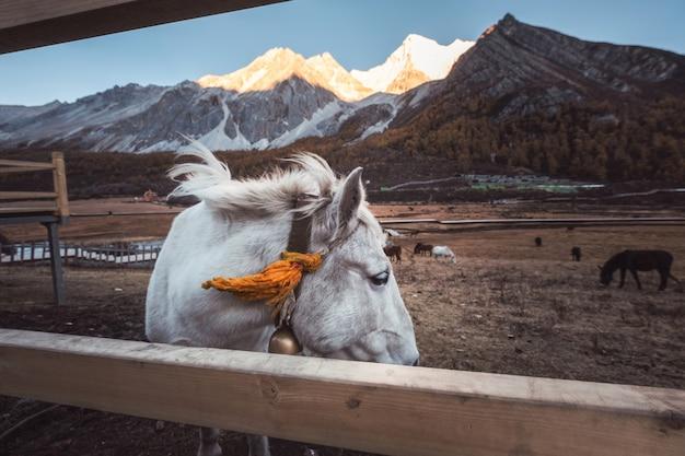Biały koń na łące z olśniewającą górą przy zmierzchem