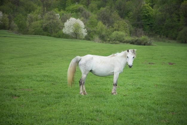 Biały koń na polu