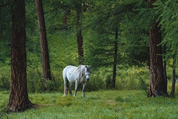 Biały koń na smyczy u sosny w lesie iglastym w dystrykcie ulaganskim republiki ałtajskiej, rosja