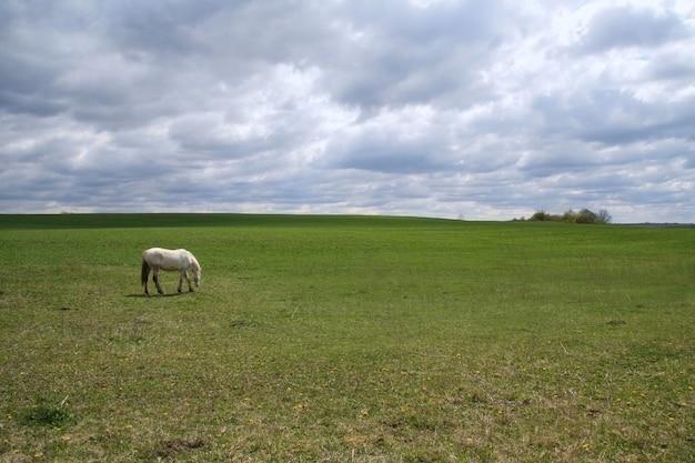Biały koń pasący się na łące