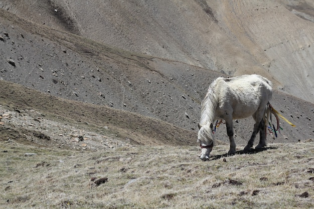 Biały koń pasący się na polach