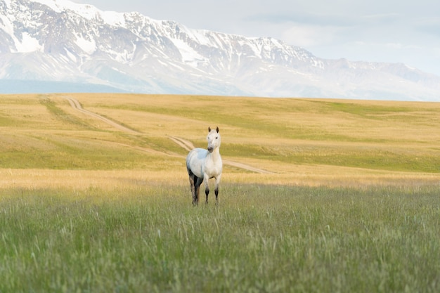 Biały koń pasie się na trawniku w górach. piękny biały mustang