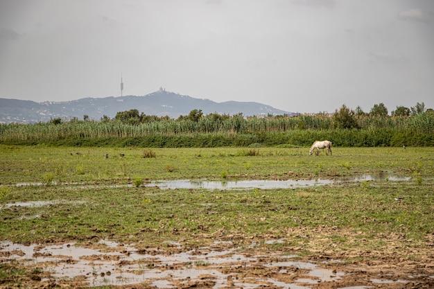 Biały koń w delta del llobregat, el prat, hiszpania