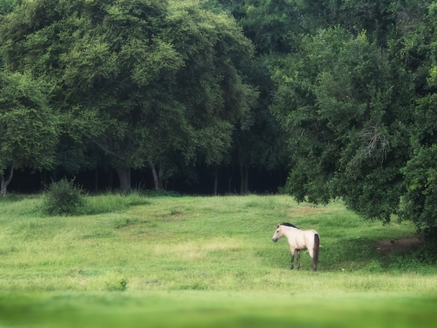 Biały koń w zielonym tło lesie w lecie, spokojny strzał jeden biały męski koń w zielonej trawy polu.