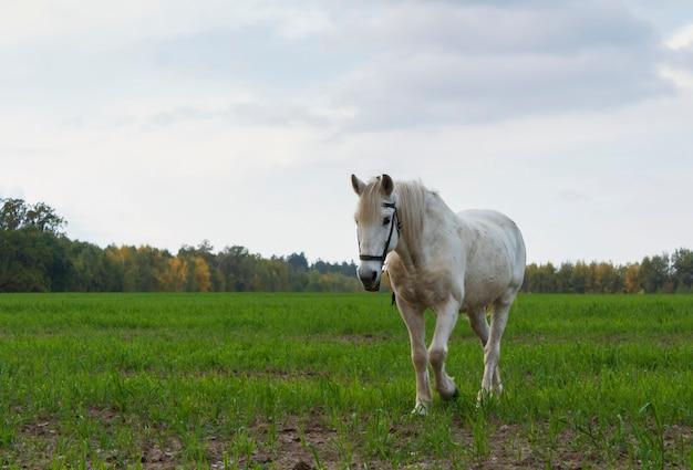 Biały koń wypasany na zielonej łące z pochmurnego nieba.