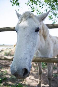 Biały koń zbliżenie na zewnątrz