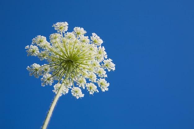 Biały koperkowy kwiatu ziele przy niebieskim niebem