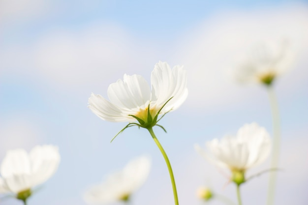 Biały kosmosu kwiat w ogródzie
