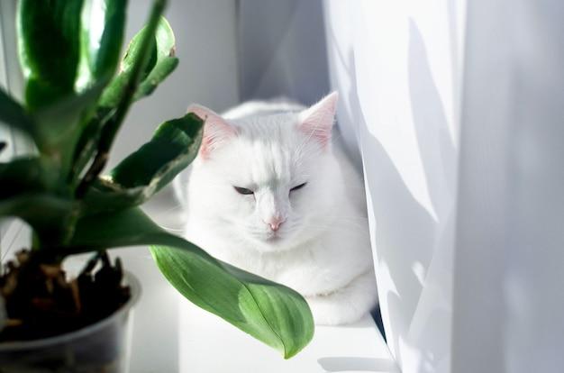 Biały kot angora siedzi na parapecie w pobliżu doniczki w słoneczny dzień.