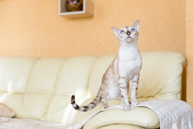 Biały kot bengalski siedzi na kanapie w domu.