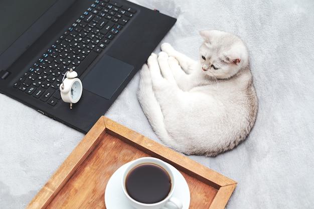 Biały kot brytyjski z laptopem, filiżanką kawy i budzikiem. koncepcja nauki online, pracy w domu, samoizolacji. humor.