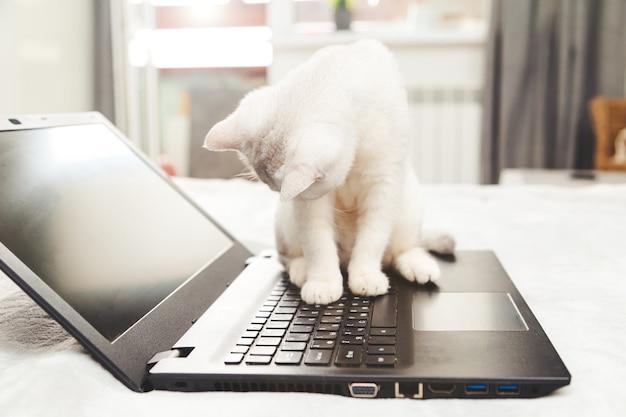 Biały kot brytyjski z laptopem. koncepcja nauki online, pracy w domu, samoizolacji. humor.