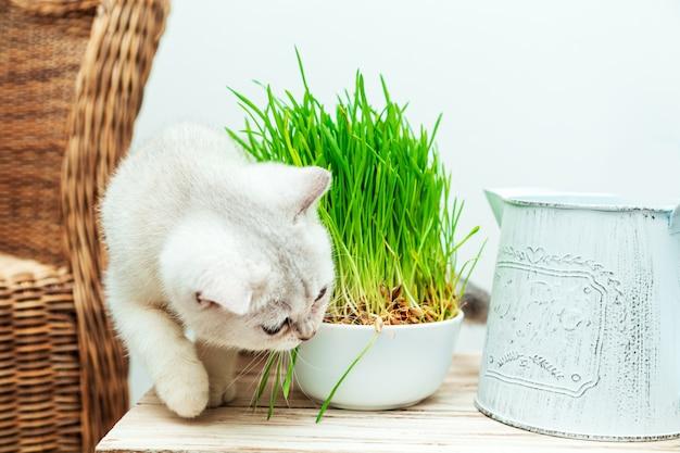 Biały kot brytyjski zjada zieloną trawę. wnętrze domu.