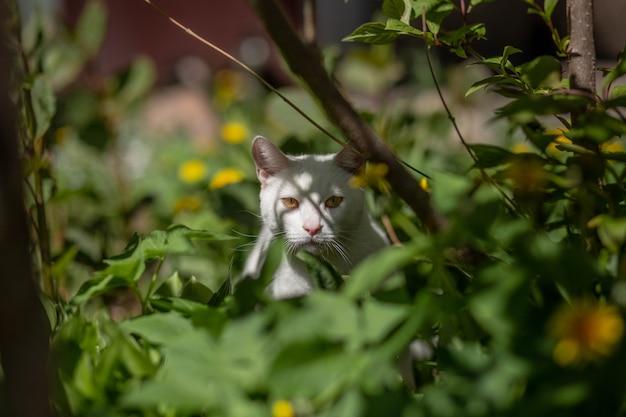 Biały kot domowy chowający się w trawie zamierza polować. zdjęcie wysokiej jakości