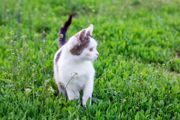 Biały kot idzie wzdłuż zielonej trawy i patrzy w bok