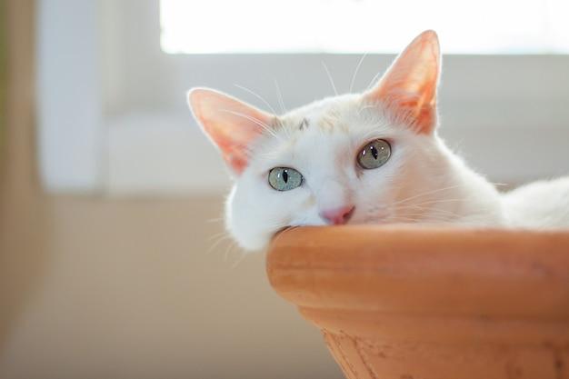 Biały kot kładzie się w wannie z gliny i patrzy w kamerę.