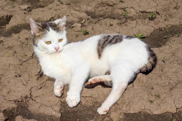Biały kot leży na suchej ziemi w słoneczną pogodę