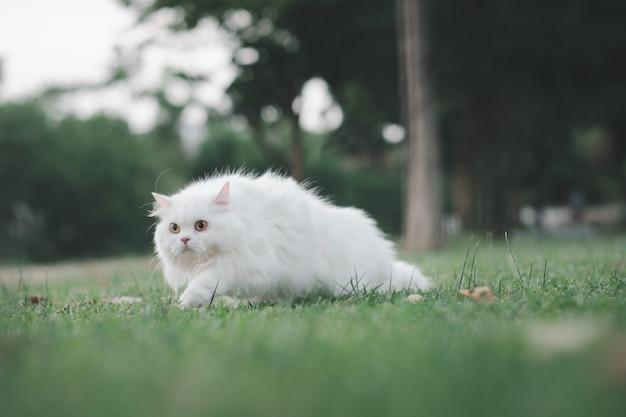 Biały kot perski spaceruje po ogrodzie z podekscytowanym wyrazem twarzy