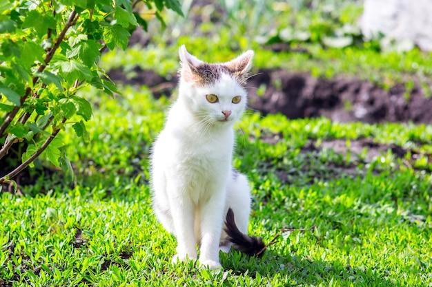 Biały kot siedzi na trawie w ogrodzie w pobliżu krzaka porzeczki w słoneczną pogodę