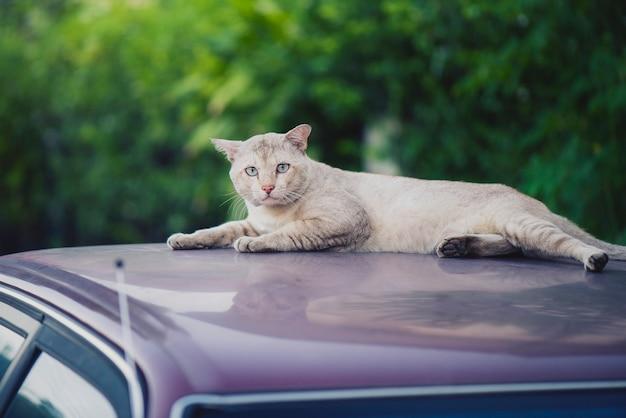 Biały kot siedzi patrząc na dach samochodu