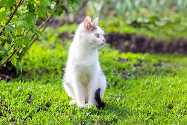 Biały kot siedzi w ogrodzie na trawie w słoneczną pogodę