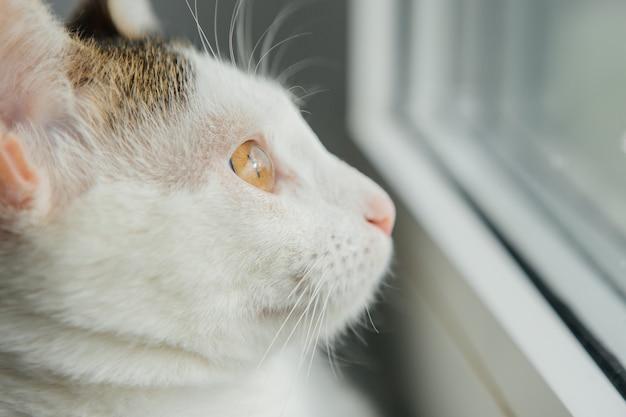 Biały kot wygląda przez okno na parapecie