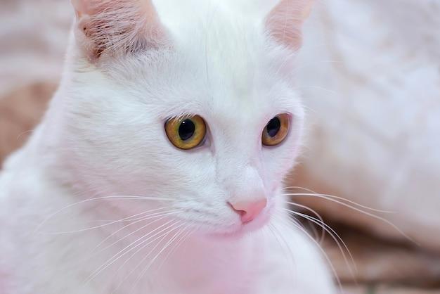 Biały kot z brązowymi oczami i różowym zbliżeniem nosa