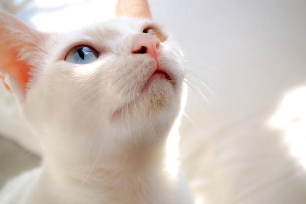 Biały kot z niebiesko-żółtymi oczami