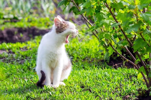Biały kot z otwartymi ustami w ogrodzie w pobliżu krzaka porzeczek