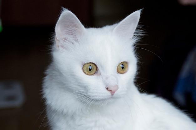 Biały kot z żółto-zielonymi oczami