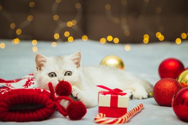 Biały kotek brytyjski bawi się na kocyku ze świątecznymi dodatkami - lizak, skarpetki, prezenty, bombki. świąteczny nastrój. czekam na wakacje.