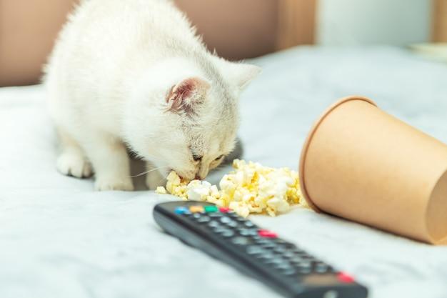 Biały kotek brytyjski leży na łóżku z pilotem i popcornem. klasyczne oglądanie filmów.