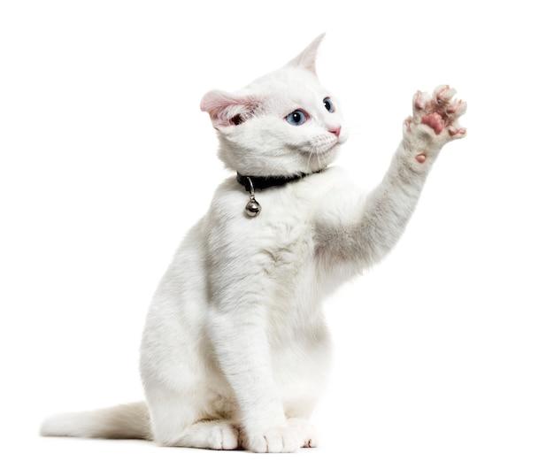 Biały kotek kot rasy mieszanej noszący dzwonkowy kołnierz i grający