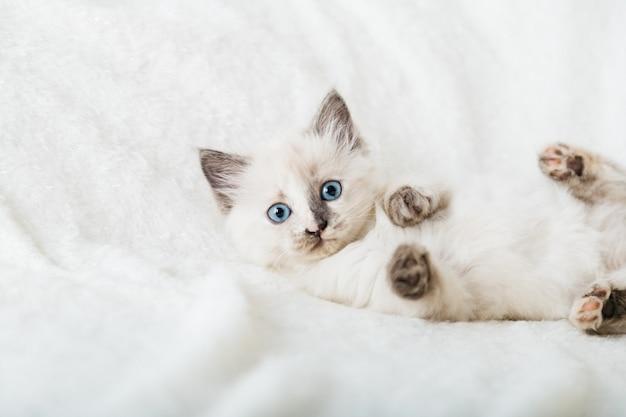 Biały kotek o niebieskich oczach. portret piękny puszysty biały kotek. kot, zwierzę zwierzę, kotek z dużymi oczami siedzi na białej kratę i patrząc w kamerę.