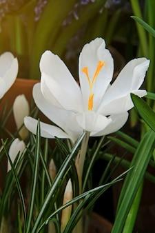 Biały krokus. pierwszy wiosenny kwiat