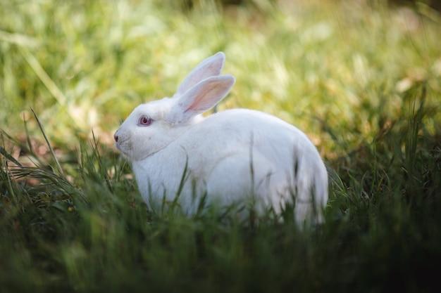Biały królik na polu