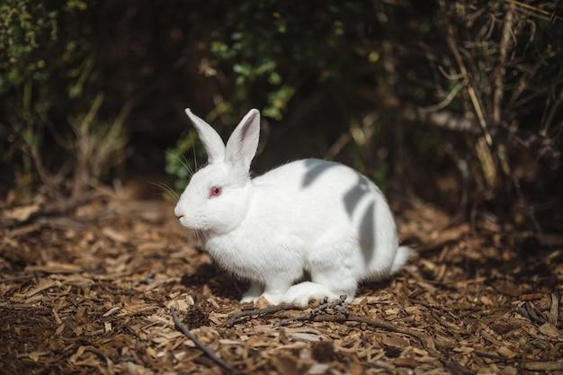 Biały królik na ziemi