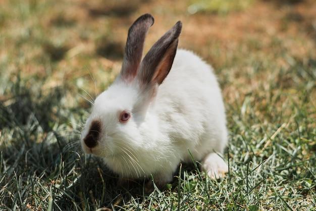 Biały królik z szarymi latami siedzi na trawie